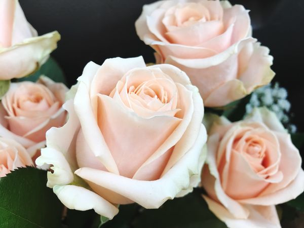 Flower Petal Rose - Flower Flower Head Fragility Beauty In Nature Freshness Nature Close-up No People Plant Growth Blooming Day Indoors