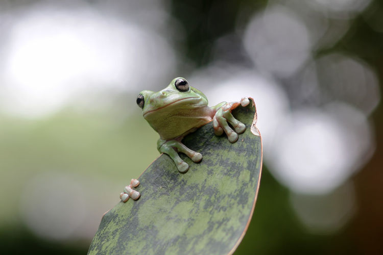 tree frogs on twigs Animal Animal Themes Animal Wildlife One Animal Animals In The Wild Close-up Focus On Foreground Amphibian Frog Vertebrate Day Nature No People Green Color Reptile Lizard Outdoors Selective Focus Plant Animal Body Part Animal Head