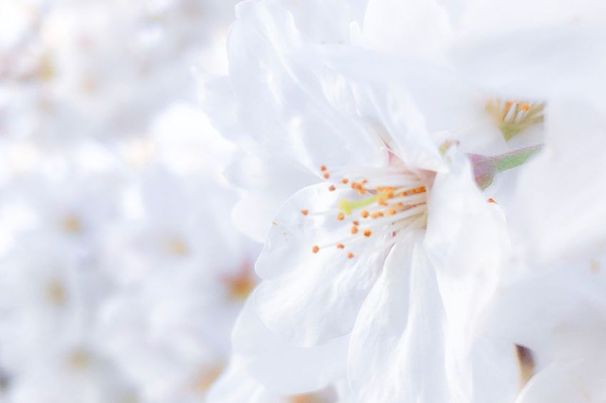 Japan Botanical Spring Cherry Blossoms Sakura White Color Crumpled No People Paper Pastel Colored Flower Day Nature Flower Head