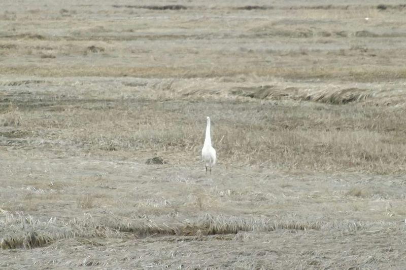Scarborough Marsh Fall Season Maine Mainewildlife Crane Whitebird Marsh Bird Photography Dull But Beautiful Brown Grass