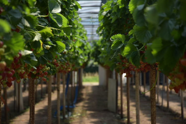 Fresh strawberries Agriculture Beauty In Nature Day Diminishing Perspective Direction Focus On Foreground Food Food And Drink Footpath Fruit Green Color Growth Healthy Eating In A Row Nature No People Outdoors Plant Plantation Strawberries Strawberry The Way Forward Tree Vineyard Winemaking