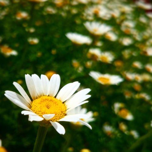 Anıyakala Konya Papatya Flowers Daisy Daisy Flower Daisy ♥ Daisy💜 Daisyporn Marquette Flower