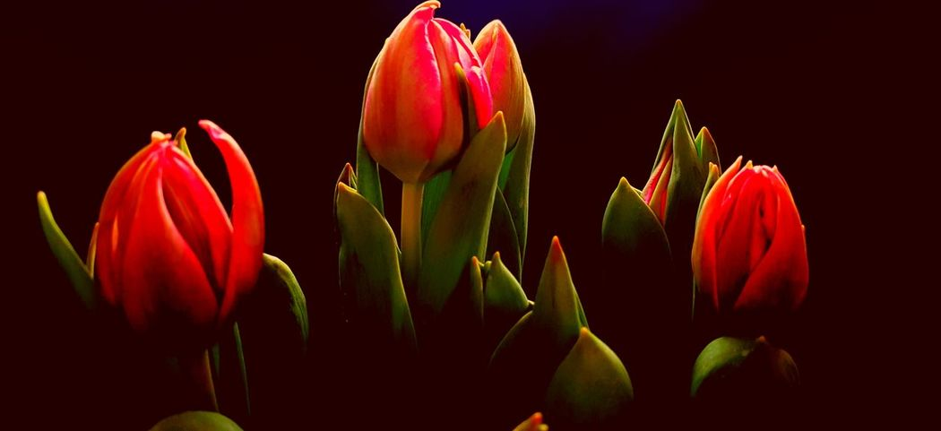 Bulbs Tulips🌷 Spring Flowers Springtime Colors Red Tulips Nature Nature_collection Nature_perfection Spring Is Coming  Flowers Flowerporn Flower Flowers, Nature And Beauty Naturelovers Colorful EyeEm Nature Lover ArtWork Eye Em Nature Lover EyeEm Best Shots - Nature Nature Photography Naturephotography Spring Tulpen