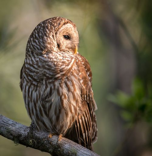 Barred owl Florida Barred Owl Barred Animal Themes Animal Wildlife Animal Bird Vertebrate Animals In The Wild One Animal Day Focus On Foreground Nature Outdoors Tree Owl Bird Of Prey No People Brown Perching Close-up Full Length Branch
