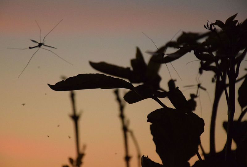 Dusk Sky Dusk Colours Crane Flies Crane Fly Silhouettes Leaves Silhouette Nature Nightlife Flight In Nature Close Up Calm Night Orange Sky Active