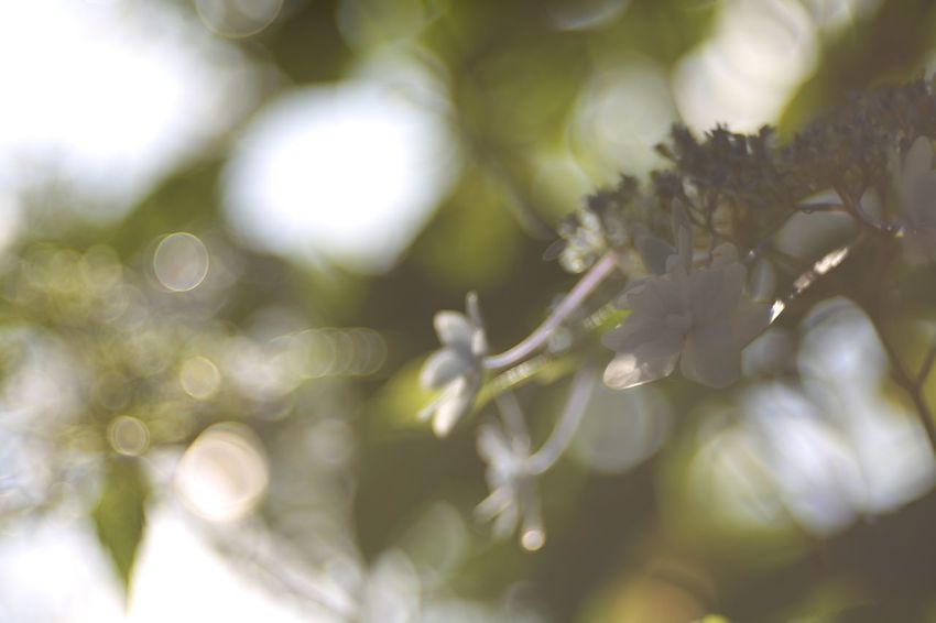 Drowse. EyeEm Nature Lover Flowers Hydrangea Fukui Japan Canon5Dmk3 Meyer-Optik-Görlitz Trioplan100 Bokehlicious