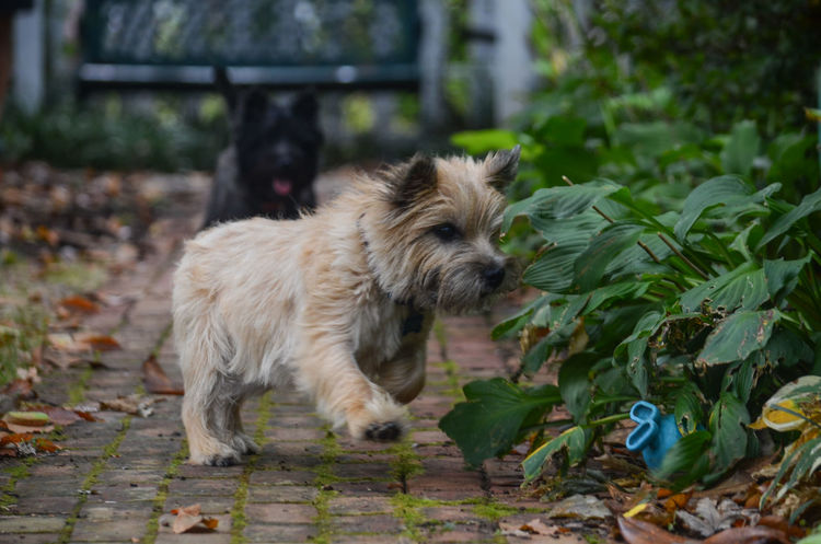 Animal Themes Cairn Terrier Cairn Terriers Day Dog Domestic Animals Fetch Fun Joyful Mammal Nature No People One Animal Outdoors Path Pathway Pets Playing Playing With Dogs Playing With The Animals