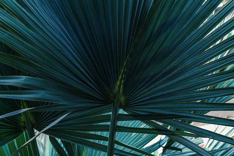 Blue Positive Emotion Relaxing Growth Pattern No People Plant Nature Beauty In Nature Green Color Full Frame Day Tree Backgrounds Outdoors Leaf Low Angle View Palm Tree Close-up Natural Pattern Palm Leaf Tropical Climate Plant Life Leaf Vein Petal Abstract Backgrounds Detail Leaves Blooming Succulent Plant My Best Photo