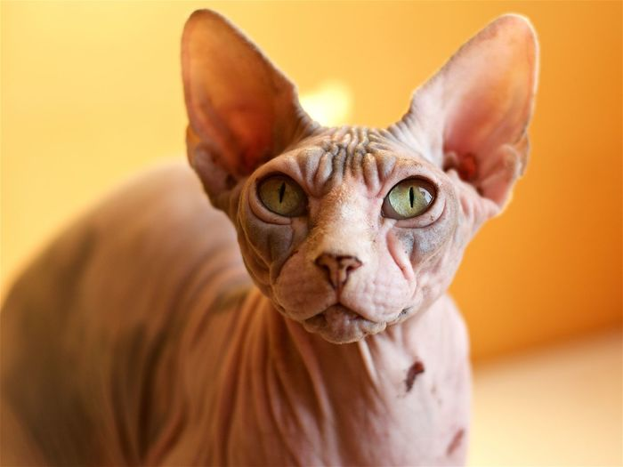 Close-up portrait of sphynx hairless cat