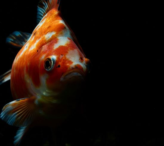 Animal Goldfish Underwater Aquarium Aquarium Life Animal Photography Aquarium Fish Goldfisch Animal Themes Goldfish In Water Aquarium Beauty Oranda Oranda Goldfish Aquarium Photography Goldfish Tank Aquarium Tank Ranchu Fish Aquarium Tank Fish Riukin Schleierschwanz Fish Swimming One Animal Water Animals In The Wild Sea Life Animal Wildlife Close-up No People Black Background Nature UnderSea Indoors  Day