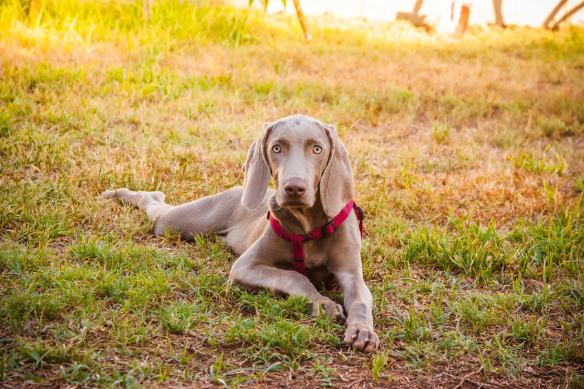 Animal Animal Head  Animal Themes Canine Dog Dog Love DogLove Doglover Dogoftheday Dogs Dogs Of EyeEm Dogs Playing  Dogs Playing Together Dogslife Dogstagram Dog❤ Domestic Animals German Weimaraner Looking At Camera Lying Down One Animal Outdoor Playtime Outdoors Pets Playing Outside