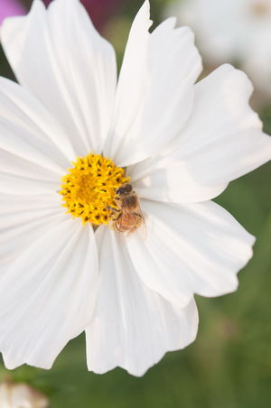 Sulfur Cosmos or Yellow Cosmos in garden Cosmos Animal Themes Animals In The Wild Beauty In Nature Blooming Close-up Day Flower Flower Head Fragility Freshness Growth Insect Nature No People One Animal Outdoors Petal Plant Pollen Pollination Stamen Yellow