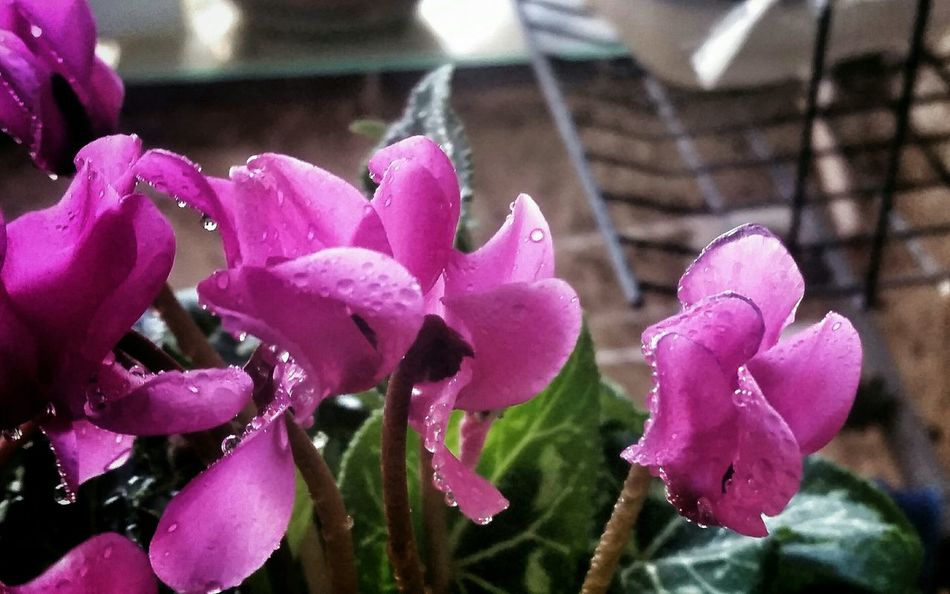 Cyclamens The Beauty In Simplicity Winterscapes Pretty Flower Raindrops From My Window Cyclamen RePicture Growth Dewdrops_Beauty