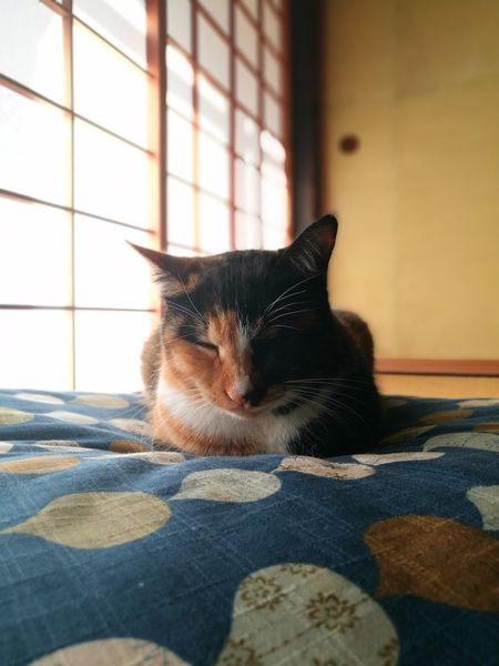 Cute Lovely Sleeping Cat Calico Cat Cat Lovers Relaxation Sunlight Tatami Husuma Japanese Traditional House Shouji House Zabuton Pets Domestic Animals One Animal Animal Themes Indoors  Domestic Cat Window Home Interior Mammal Sitting No People Day Bed Portrait Feline