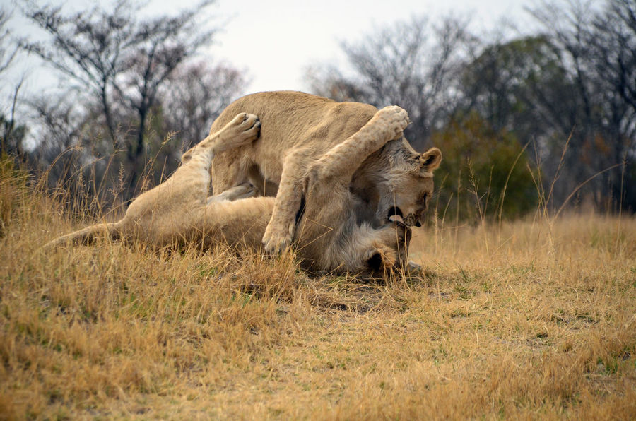 Togetherness Playful Cat Playful Lions Animals In The Wild Animal Wildlife Animal Themes Safari Safari Animals South Africa Nature South African Wildlife Wildlife Photography Wildlifephotography Safari Park Nature Reserve Animal Lions Lioness Nature African Lion African Lion Safari Lion Playing Lion Kissing