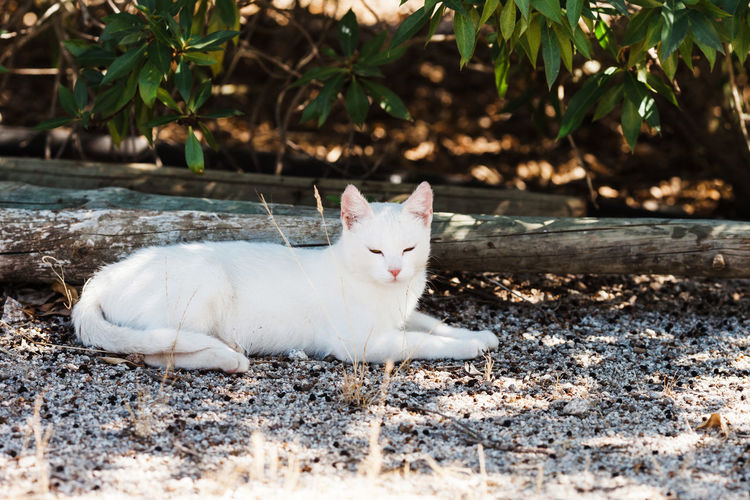 Animal Themes Day Domestic Animals Domestic Cat Feline Mammal Nature No People One Animal Outdoors Pets Portrait White Color