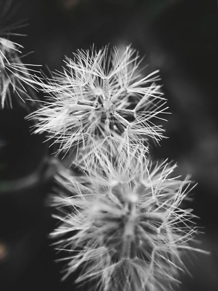 Flowers Dandelions Black And White Collection  Flowers_collection EyeEm Indonesia Yogyakarta,indonesia
