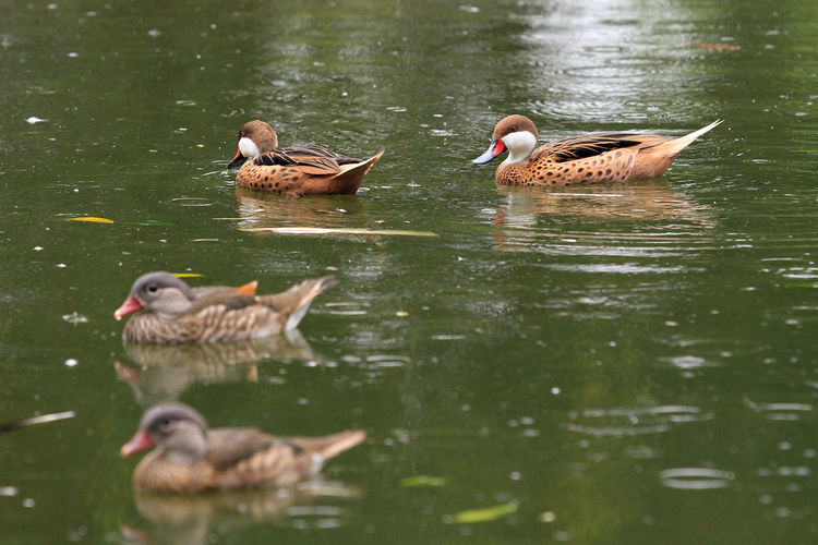 Wood Duck Animal Themes Animal Wildlife Animals In The Wild Bird Collection Ducks Garden Lake Nature No People Outdoors Pearcing Playing Swimming Theme Togerherness Water Water Front  Wood Ducks Birds_collection