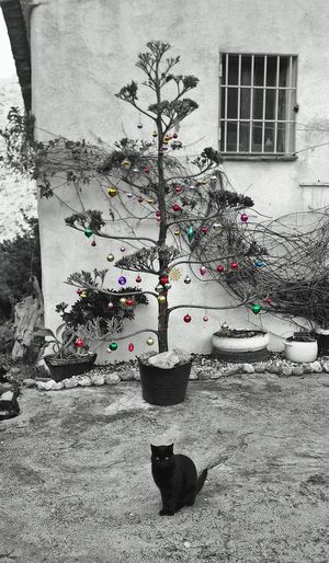 Agave Christmas Tree. Christmas Tree Christmas Decorations Christmas Around The World Christmas Ornaments Colour Pop Christmas Baubles Happy Christmas Black Cat Cat And Christmas Tree Cat Cats Of EyeEm Andalucia Rural