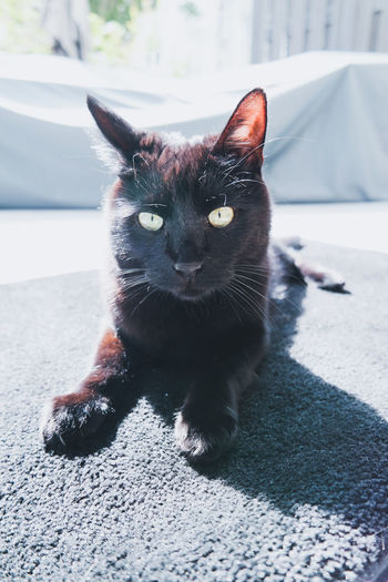 Portrait of black cat sitting on floor