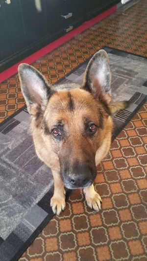 Bobby from Norway 💖 Check This Out Hello World Enjoying Life February 2016 Norway Home Sweet Home Mans Best Friend My Dogs Are Cooler Than Your Kids German Shepherd Germanshepherddog Germanshepherdlovers Adopted Dog Epilepsyawareness Bobby ❤