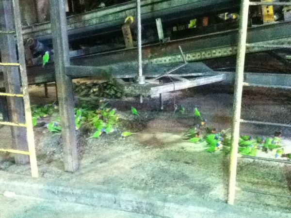 Sarina Sugarmill Sugarbelt Lorikeets Ipod4