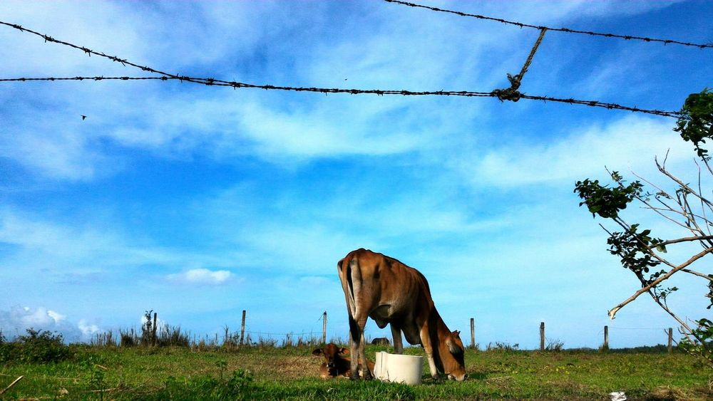 Sky Cow Barbed Wire Barbed Fence Cloud - Sky One Animal Low Angle View No People Tree Nature Outdoors