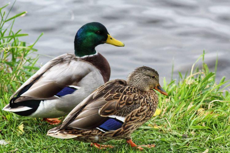 Ducks Together
