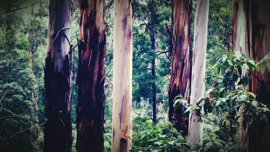 EyeEm Best Shots Australia Gum Trees Tree Green Nature Photography Melbourne Rocks Photography Nature Forest Sherbrook Forest