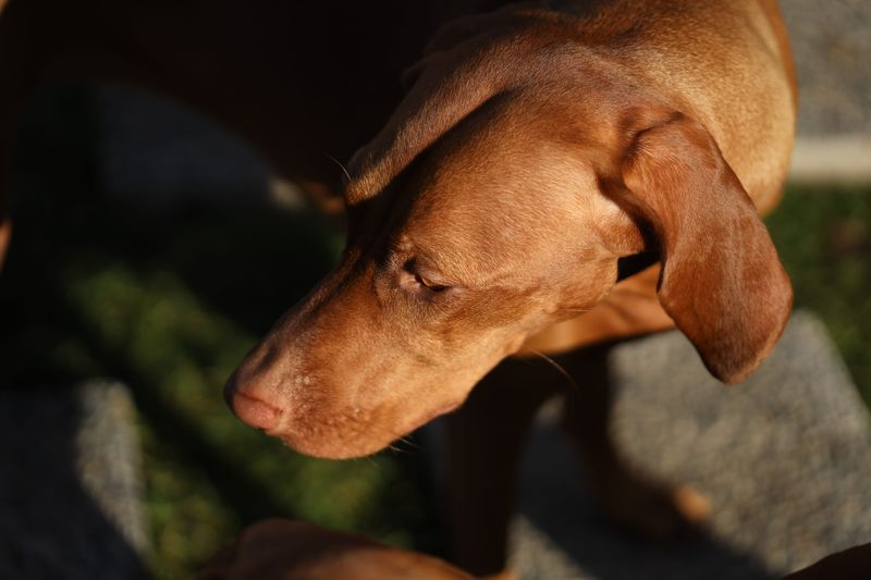 Vizsla One Animal Canine Dog Animal Themes Animal Vertebrate Domestic Animals Pets Domestic Mammal Close-up Focus On Foreground Sunlight Animal Body Part Looking Looking Away No People Animal Head  Day