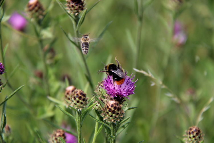 Animal Themes Animal Wildlife Animals In The Wild Beauty In Nature Bee Blooming Bumblebee Day Flower Flower Head Focus On Foreground Fragility Freshness Growth Insect Nature No People One Animal Outdoors Petal Plant Pollination Purple Symbiotic Relationship Thistle