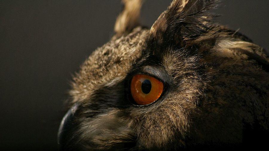 Side view of eurasian eagle owl