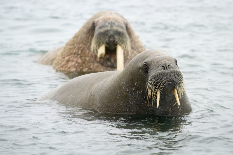 Two walruses seen off the coast of Svalbard in the Norwegian Arctic Ocean Animal Themes Animal Wildlife Animals In The Wild Aquatic Mammal Arctic Close-up Day Looking At Camera Mammal Nature No People Outdoors Portrait Sea Sea Life Seal - Animal Swimming Walrus Water