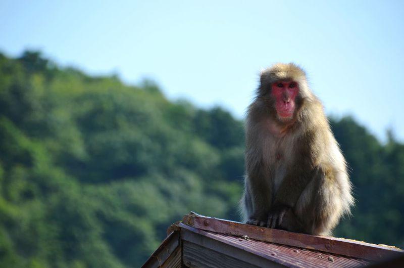 Monkey sitting on a roof against sky at iwatayama monkey park - arashiyama - kyoto - japan