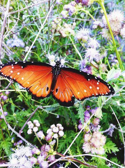 Monarch. Garner state park. Concan, Tx Nature Micro Nature