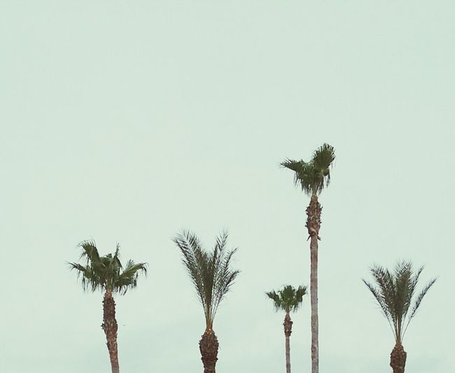 Kemah Boardwalk Palm Trees ❤❤ Grey Sky Variety Sizes Shapes In Nature  Relaxing Outdoor Photography Android Photography Enjoying The Sights Treescollection Taking Photos Showcase March Learn & Shoot: Simplicity EyeEm Nature Lover Background Back Pattern, Texture, Shape And Form Different Sizes