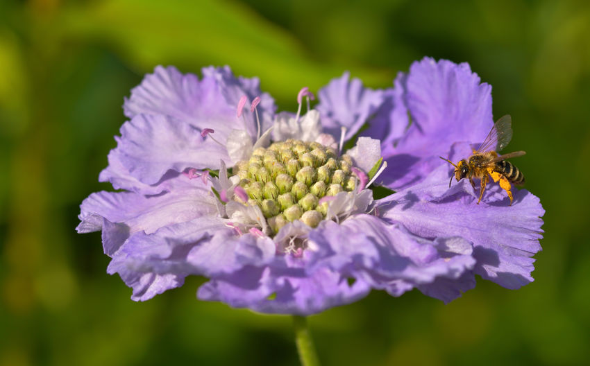 A Bee off a Scabiosa Blossom Flowering Plant Flower Freshness Fragility Growth Plant Beauty In Nature Petal Vulnerability  Close-up Flower Head Insect Invertebrate Inflorescence Animal Themes Animals In The Wild Focus On Foreground Nature Animal Animal Wildlife Purple No People Pollination Pollen Beauty In Nature Bee And Flower Bee On The Flower Nature_collection EyeEm Nature Lover EyeEm Best Shots Biodiversity Blossom Makro Photography Makro_collection Beautiful Nature Nikon Nikondeutschland Sigma Lens Evironment Garden Garden Flowers