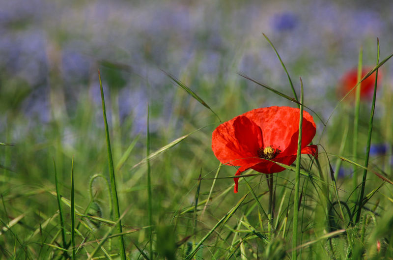 Beauty In Nature Blooming Blue Flax Close-up Day Field Flower Flower Head Fragility Freshness Grass Green Color Growth Nature No People Outdoors Petal Plant Poppies  Poppies Field Poppy Poppy Flowers Red