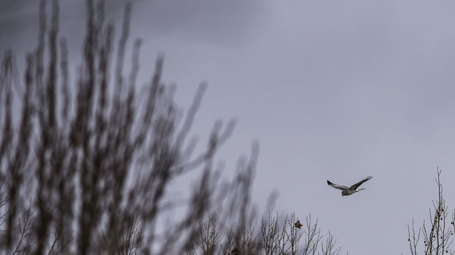 Northern Harrier Hawk in Flight by the tug yard 2-11-18 600mm Birds Of EyeEm  Nikon Nikond750 Northern Harrier Hawk Raptor ThroughMyLens Wildlife & Nature WithMyTamron Animal Themes Bighawkin Birdsofprey Day Hawks In Flight Nature No People Outdoors Overcast Skies Portcity Tamron150600mm