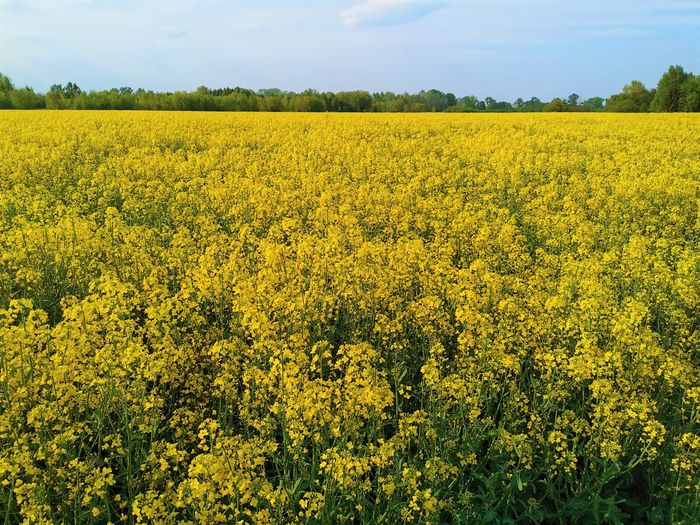 Scenic view of oilseed rape field