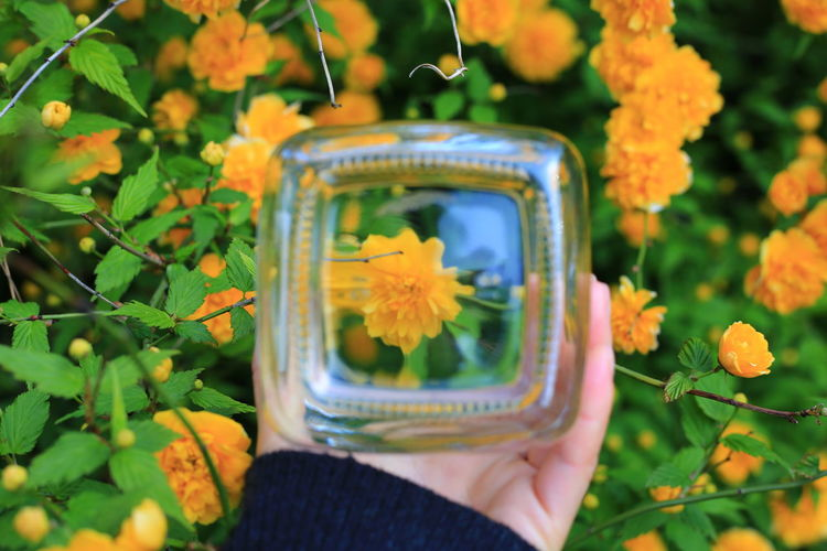 Midsection of person holding yellow flowering plant