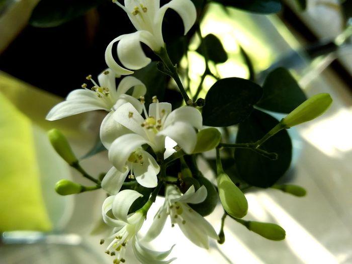 murraya Flower