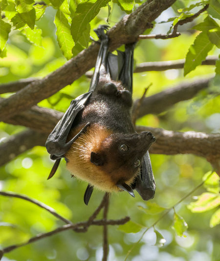 Foxbats in Thailand ASIA Bat Hanging Nature Thailand Tree Animal Themes Animal Wildlife Animals In The Wild Bat - Animal Branch Day Focus On Foreground Forest Fox Fox Bat Foxbat Growth Leaf Low Angle View Mammal Nature No People One Animal Wild