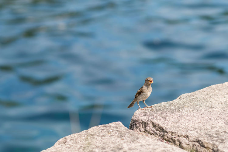 Sparrow perching by sea on rock