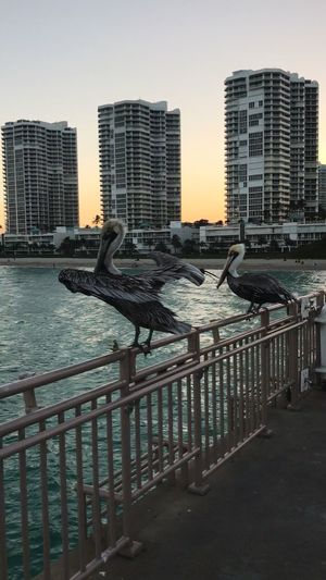 Pelicans on the pier Sunny Island Beach Ocean Summer Sunset Time Amazing birds places to visit wonderful view