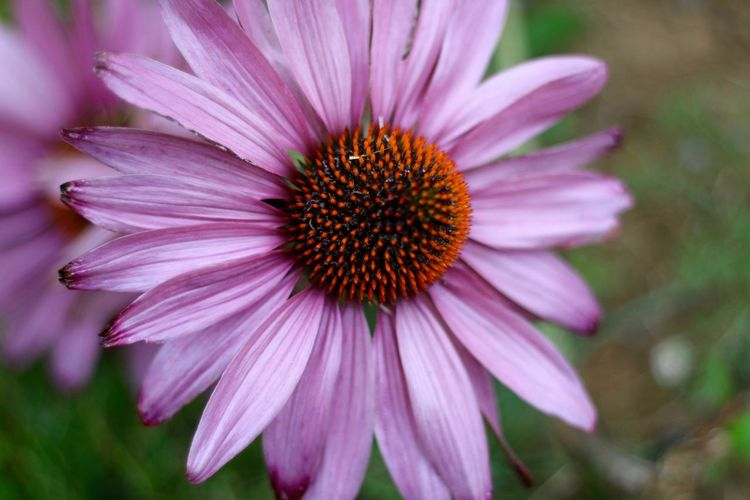 Echinacea Beauty In Nature Blooming Close-up Day Echinacea Purpurea Flower Flower Head Focus On Foreground Fragility Freshness Growth Nature No People Outdoors Petal Plant Pollen