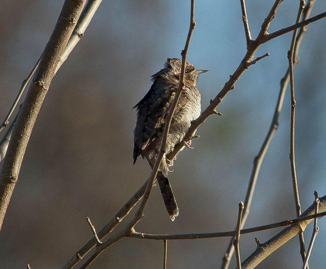 Bird Eurasian Wryneck Beauty In Nature Close-up Af-s Nikkor 300mm F4 Tc 17e Ii