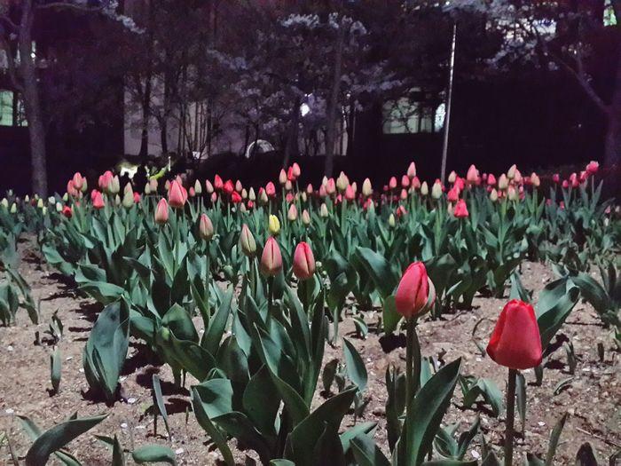 못다핀 튤립일지 곧 필 튤립일지 Tulips Spring Flowers Check This Out Taking Photos Sad Story