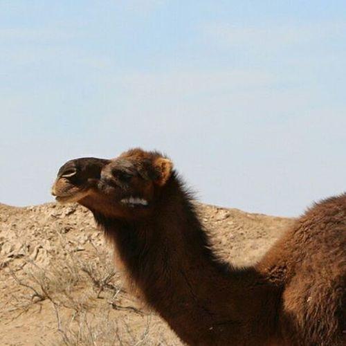 Camel Nature Beautiful Naturelovers Naturallandscape Naturelovers Iran Mustseeiran Desert