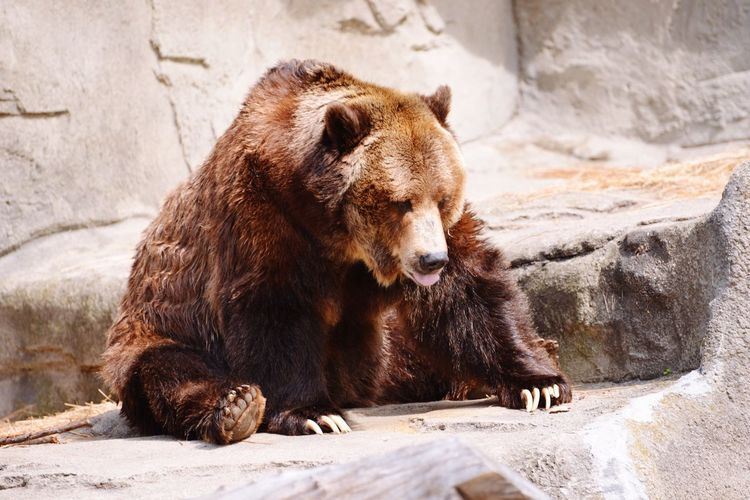 Close-Up Of Bear By Rock